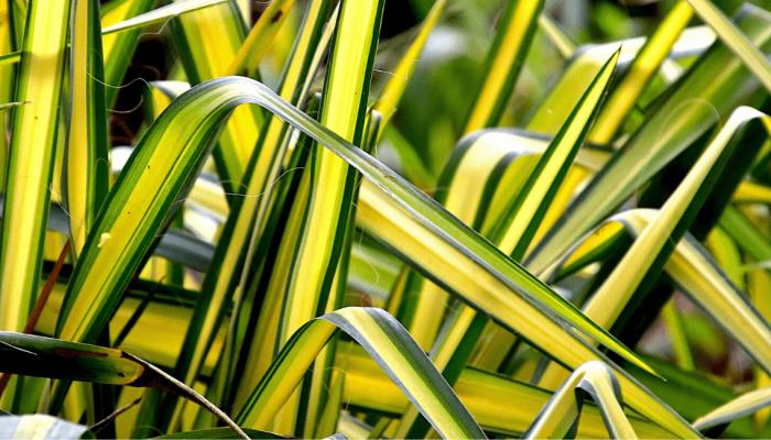Chlorophytum katykat (1)