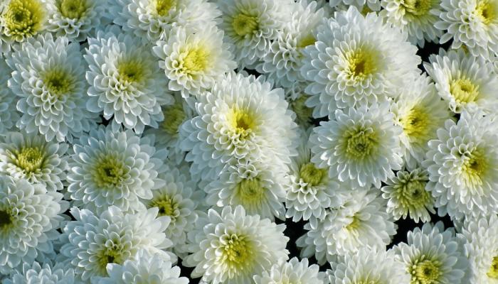 Chrysanthème katykat (1)